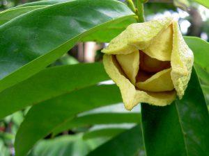 Le fleur et la feuille anticancer du graviola corossol