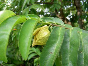 La feuille de graviola corossol un anticancer naturel puissant