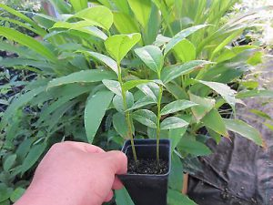 La feuille de graviola corossol est un anticancer naturel puissant