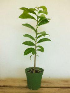 Plant de graviola corossol dont la feuille est un anticancer