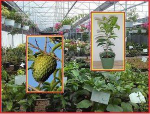 Le plant et le fruit de graviola corossol bio
