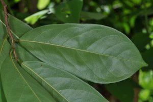 La feuille de l'anone ou graviola corossol est un anticancer puissant